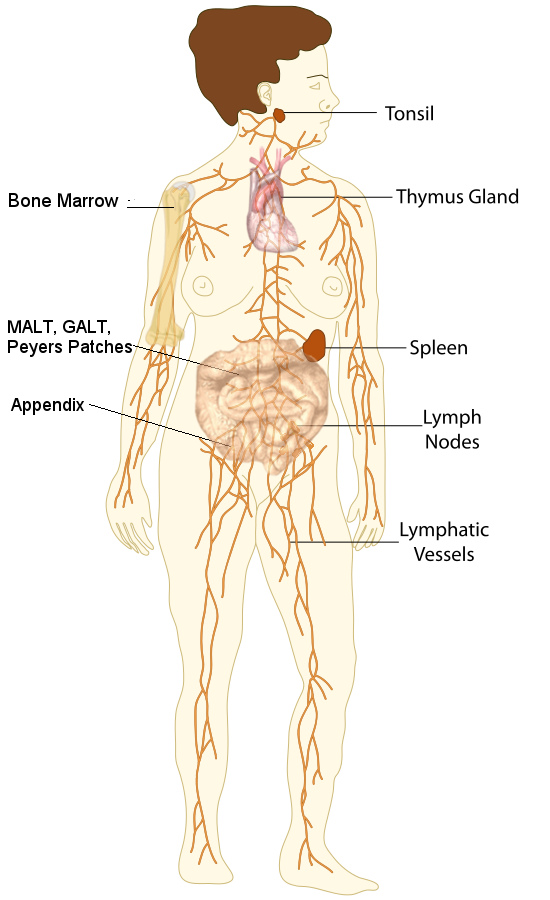 Organs of the Lymphatic System
