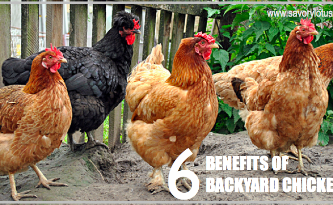6 Benefits of Backyard Chickens