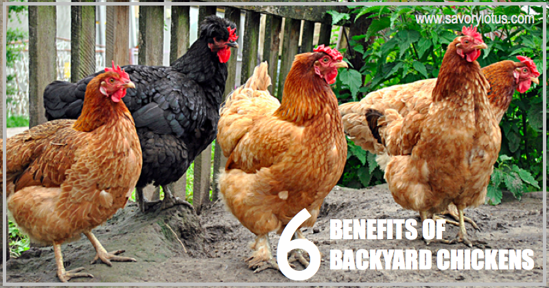 6 Benefits Of Backyard Chickens : Savorylotus.com