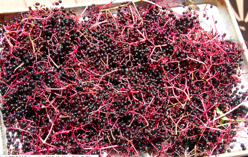 elderberries, harvest